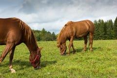 2 коричневых лошади Стоковое Фото