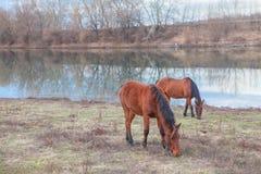 2 коричневых лошади Стоковые Фото