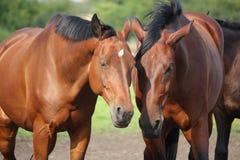 2 коричневых лошади nuzzling один другого Стоковое Изображение