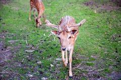 2 коричневых оленя на траве пася Стоковые Изображения