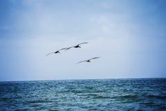 3 коричневых пеликана Стоковые Изображения RF