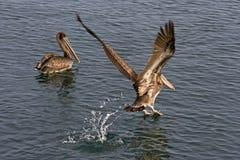 2 коричневых пеликана в воде Одно плавая другой принимая o Стоковая Фотография