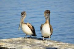 2 коричневых пеликана Стоковые Изображения