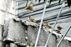 4 коричневых птицы воробья на стене бетонной плиты Стоковые Изображения RF