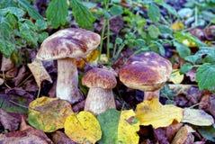 3 коричневых съестных гриба в желтых листьях и зеленой вегетации Стоковое Фото