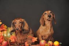 2 коричневых таксы Стоковое Фото