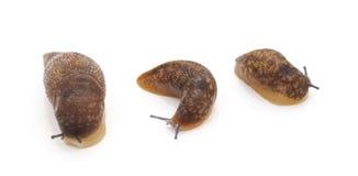 3 коричневых улитки стоковое изображение rf