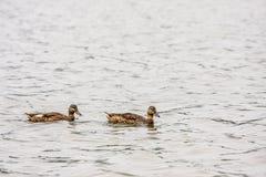 2 коричневых утки в воде Стоковое Изображение