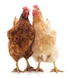 2 коричневых цыплят Стоковые Изображения RF