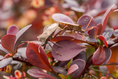 2 коричневых черепашки в красных листьях Стоковые Изображения
