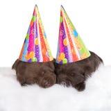 2 коричневых щенят в шляпах партии Стоковое Фото