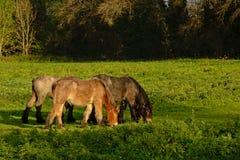3 коричневых grazinfhorses Brabantian в природе Стоковые Изображения
