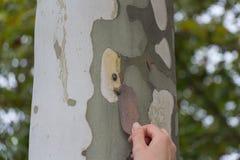 2 коричневых marmorated черепашки вони на коре дерева Стоковое Изображение