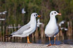 2 коричнев-головых чайки Стоковая Фотография