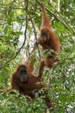 2 коричнев-наблюдали взрослая смертная казнь через повешение орангутана на ветвях Bohorok, Стоковое Изображение RF