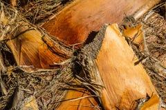 Корка ладони кокоса Фото принятое в Мальорку, Испания Стоковое Фото