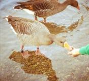 Кормить голодную гусыню озером стоковая фотография rf