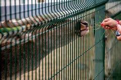 Кормить оленей в зоопарке стоковое фото