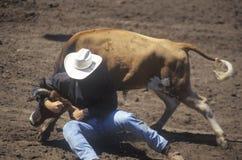 Кормило Wrestling, ярмарочные площади Earl Warren, родео фиесты, выставка лошади запаса, дни Санта-Барбара старые испанские, CA стоковые фотографии rf