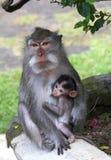 кормя грудью ниппели обезьяны мамы всасывая детенышей Стоковая Фотография