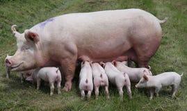 Кормя грудью поросята на скотном дворе на луге стоковая фотография rf