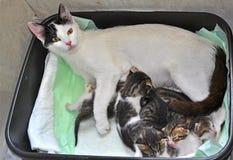 Кормя грудью котенок Стоковая Фотография