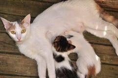 Кормя грудью котенок Стоковое Изображение