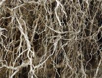 Корни без почвы стоковые изображения rf