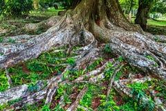 Корни большого святого дерева Bodhi в парке в Шри-Ланке стоковые фото