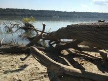 Корни большого дерева стоковые изображения rf