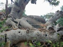 Корни выросли над большим утесом, корни дерева, который дерева лаяют текстура, обои предпосылки творения природы стоковое фото rf