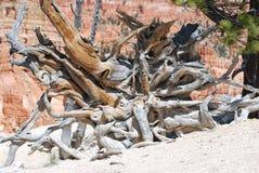 Корни в каньоне Bryce Стоковые Фото