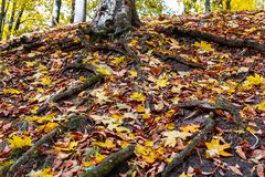 корни дерева в лесе в осени Стоковая Фотография RF