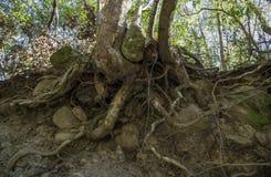 Корни дерева конца-вверх на том основании в лесе горы стоковые изображения rf