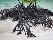 Корни дерева мангровы на пляже стоковое фото rf