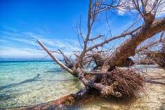 Корни дерева острова Сан Blas Стоковые Изображения