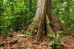 Корни дерева подстенка в тропическом лесе Стоковые Изображения