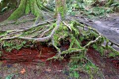 Корни дерева проползать предусматриванные во мхе в роще собора стоковое фото