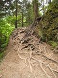 Корни дерева Стоковое Изображение RF