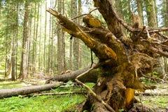 Корни дерева в лесе Стоковые Изображения RF