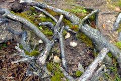 Корни дерева в лесе Стоковое Изображение RF
