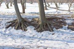 Корни дерева в парке весны Стоковые Фотографии RF
