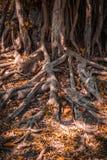 Корни дерева в парке Стоковая Фотография