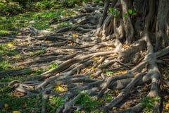 Корни дерева в парке Стоковое Изображение