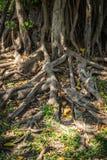 Корни дерева в парке Стоковое Фото