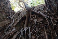 Корни дерева в стене Стоковое Фото