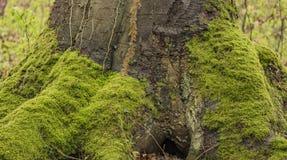 Корни дерева и лес мха весной стоковое фото rf