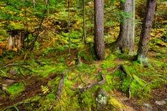 Корни дерева и сочный зеленый мох Стоковое Изображение RF