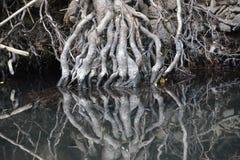 Корни дерева отраженные в неподвижной воде Стоковая Фотография RF