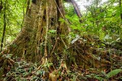 Корни дерева подстенка в тропическом лесе Стоковая Фотография RF